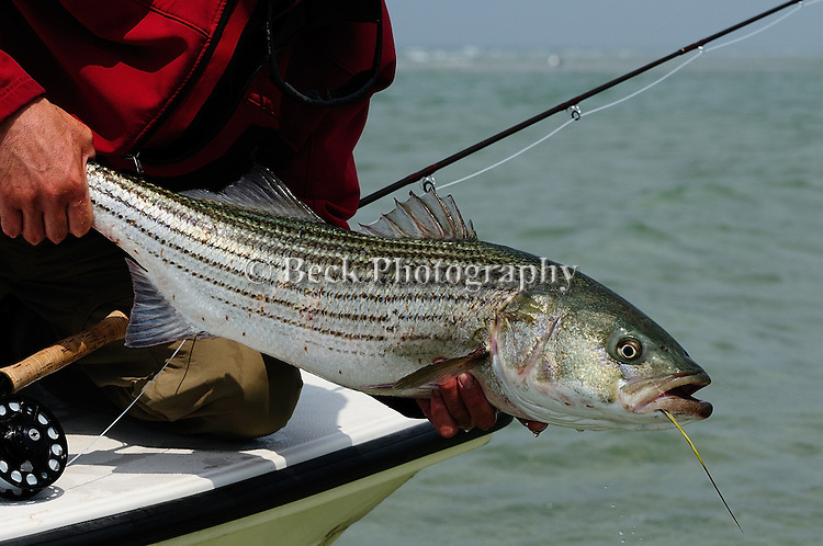 FLY FISHING FOR STRIPED BASS IN MASSACHUSETTS