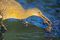 Clapper Rail, eating a fiddler crab. Fortesque, New Jersey