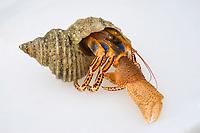Hermit crab in a shell, Inside Passage, Southeast Alaska, Alaska, USA, North America