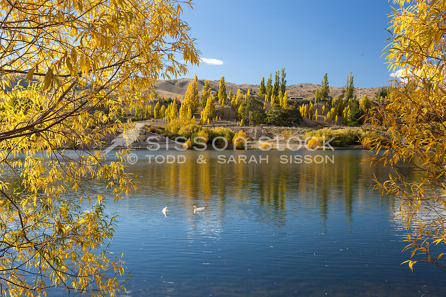 White ducks on the Kawarau river at Bannockburn surrounded by Autumn trees, Central Otago, South Island, New Zealand - stock photo, canvas, fine art print