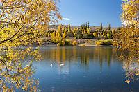 White ducks on the Kawarau river at Bannockburn surrounded by Autumn trees, Central Otago, South Island, New Zealand - stock photo, canvas, fine art print