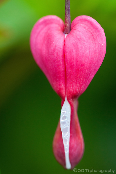 Close-up of single pink bleeding heart flower