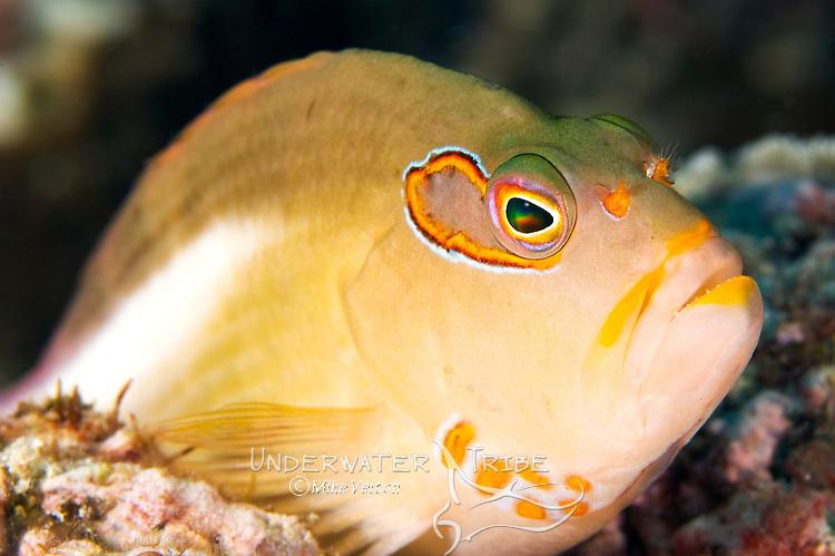 Arc-Eye Hawkfish Portrait, Paracirrhites arcatus, Yap, Micronesia, Pacific Ocean
