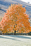 A lone maple tree in brilliant fall color on a frosty morning