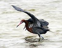 Reddish egret foraging