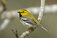 Adult male Black-throated Green Warbler (Dendroica virens) in breeding plumage. Alberta, Canada. June.