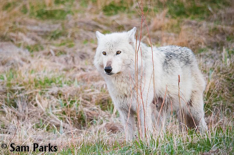White wolf. Yellowstone National Park, Wyoming.