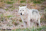 White wolf. Yellowstone National Park, Wyoming.