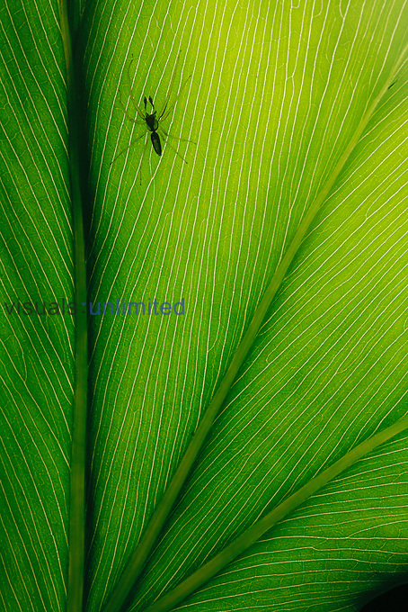 Rainforest Spider (Arachnid) on leaf, Costa Rica.