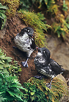 506760304 two wild least auklets aethia pusilla perch on a cliff face on saint george in the pribilof islands in southeast alaska