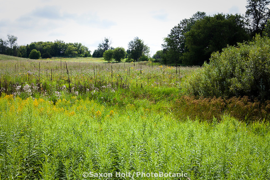 Diverse meadow plant community with Goldenrod, Wool grass (Scirpus cyperinus) and Mullein (Verbascum) Crow-Hassan Park, prairie reserve