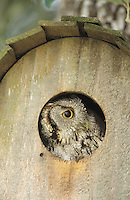 Eastern Screech-Owl, Megascops asio, Otus asio,adult in Nest Box, Willacy County, Rio Grande Valley, Texas, USA, March 2004