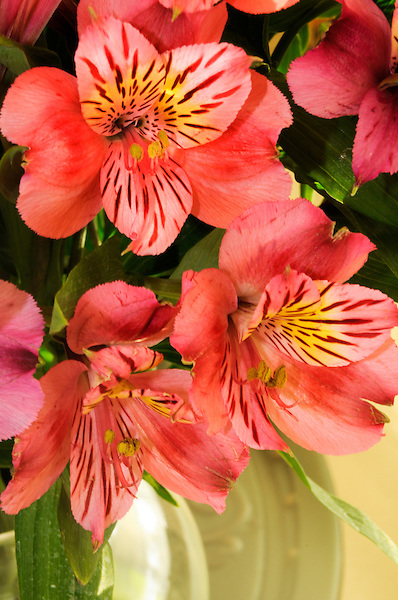 Colorful Alstroemeria Fairy Flower