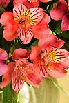 Colorful Alstroemeria Fairy Flower