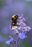 Buff-tailed bumblebee, Bombus terrestris, Kemsing Down, Kent Wildlife Trust Nature Reserve, UK