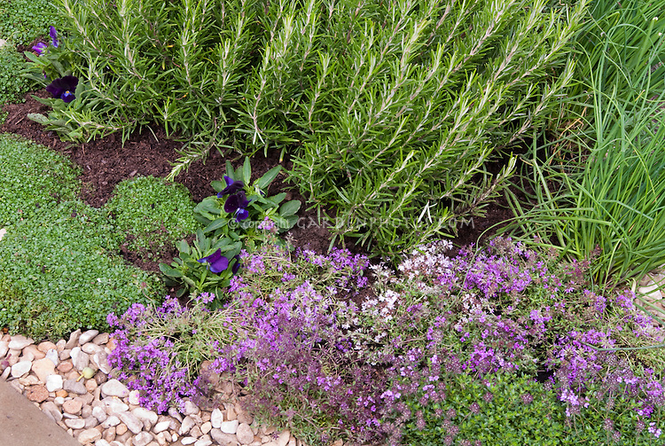 Herbs growing: rosemary, thymes in bloom