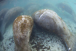 Manatees With Propeller Scars At Three Sisters Spring