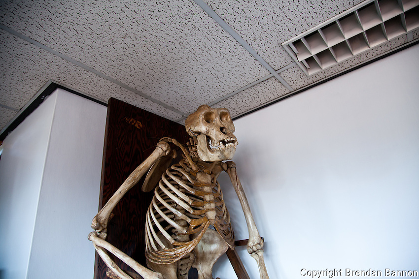 The skeleton of a modern gorilla in the casting room of the paleontology department at the National Museums of Kenya.