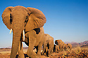 Namibia;  Namib Desert, Skeleton Coast, Huab River, desert elephant herd (Loxodonta africana) walking in stony desert
