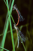 Späte Adonislibelle, Männchen und Weibchen, Paarung, Paarungsrad, Scharlachlibelle, Zarte Rubinjungfer, Ceriagrion tenellum, small red damselfly, male and female, pairing, le Cériagrion délicat ou l'Agrion délicat