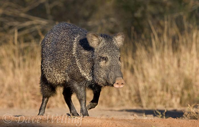 650520233 a wild javelina or collared peccary dicolyties on beto gutierrez santa clara ranch hidalgo county lower rio grande valley texas united states