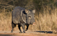 650520233 a wild javelina or collared peccary dicolyties on beto gutierrez santa clara ranch hidalgo county lower rio grande valley texas united states