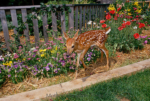 Baby White tailed deer, fawn, Odocoileus virginianus, taskts the pansies in the blooming summer flower garden, Missouri