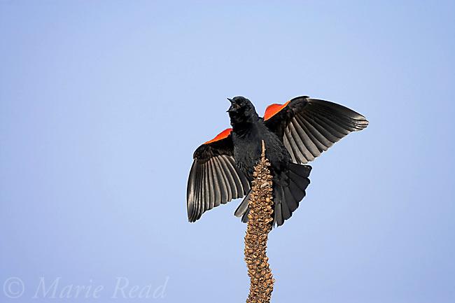 Red-winged Blackbird (Agelaius phoeniceus) male displaying and singing, Montezuma National Wildlife Refuge, New York, USA