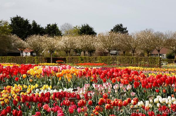 Hortus Bulborum in Limmen.  In de tuin staan meer dan 4000 soorten. De hortus, waarin voornamelijk tulpen staan, is in 1928 opgericht