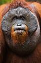 Dominant male orangutan, portrait, (Pongo pygmaeus), endangered species due to loss of habitat, spread of oil palm plantations, Tanjung Puting National Park, Borneo, East Kalimantan,