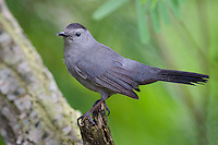 Gray Catbird, South Padre Island State Park, Texas