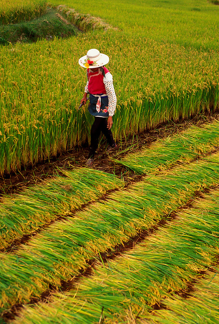 Ethnic Bai woman harvesting rice near Erhai Lake on the outskirts of Dali, Yunnan Province, China, Asia