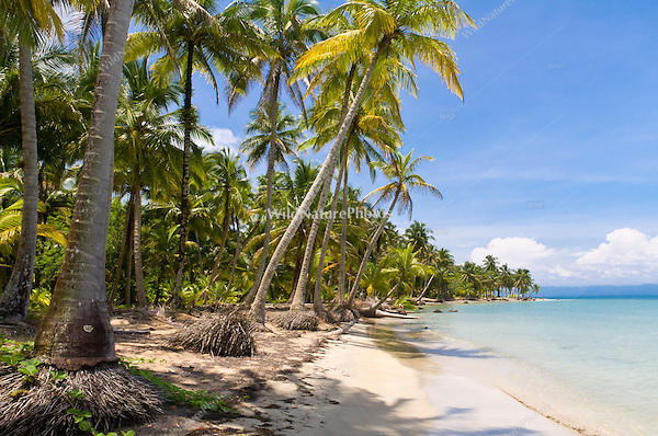 Coconut Palms along the beach at Boca del Drago, near Star Beach, Colon Island, Panama
