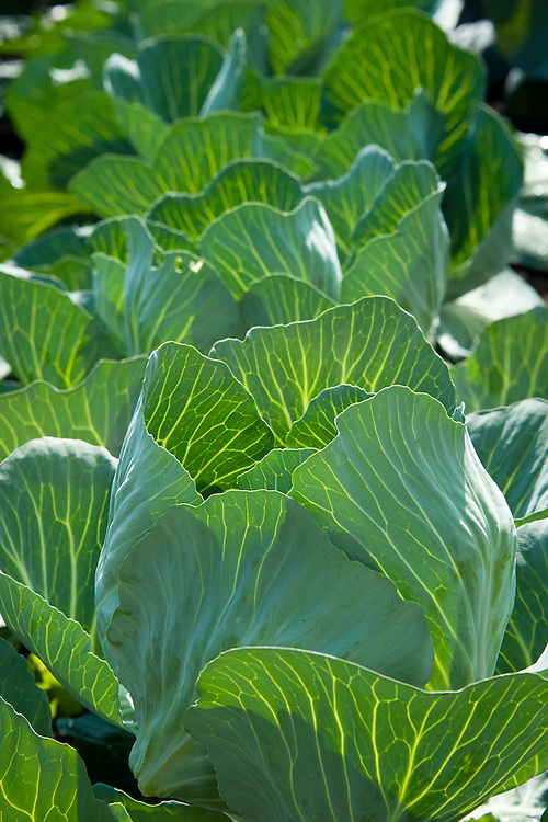 Cabbage 'Brigadier', early July.