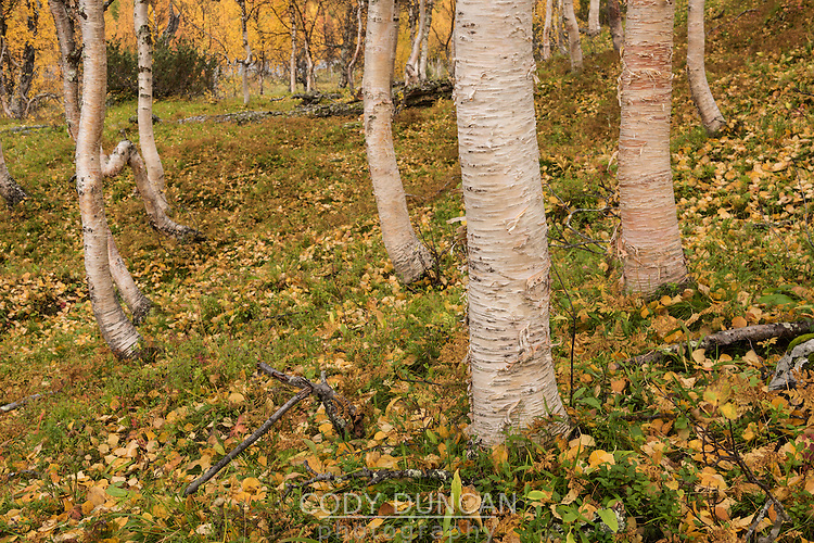 Bright colors of autumn birch forest in Vindelfjällen nature reserve, Kungsleden trail, Lapland, Sweden
