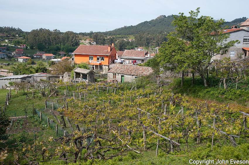 View over vineyard in spring looking towards the village of Chandebrito, Vigo, Galicia, Spain. .....Copyright..John Eveson,.Dinkling Green Farm,.Whitewell,.Clitheroe,.Lancashire..BB7 3BN.Tel. 01995 61280.Mobile 07973 482705.j.r.eveson@btinternet.com.www.johneveson.com