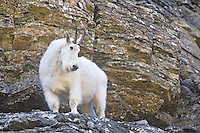 Mountain goat in Glacier National Park, Montana