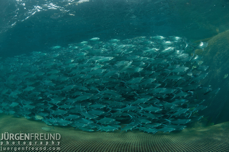 45,000 bangus or milkfish (Chanos chanos) grow in this sea cage. Sea cages grow bangus slower than in ponds. But taste wise sea cage grown milkfish is superior.