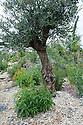 Olive tree in Discover Jordan show garden, Hampton Court Flower Show 2012.