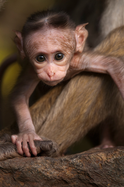 An infant toque macaque at around 4 weeks old. . Archaeological reserve, Polonnaruwa, Sri Lanka. IUCN Red List Classification: Endangered