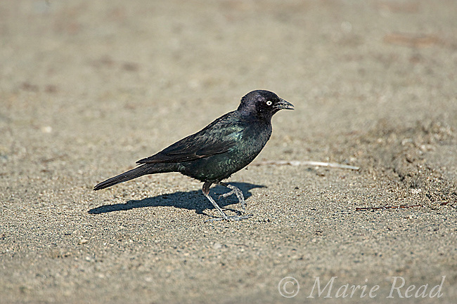 Brewer's Blackbird (Euphagus cyanocephalus) male, Mono Lake, California; USA