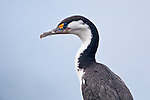 A Pied Shag rests along the rocky coastline of Tiritiri Matangi Island in Aucklands Hauraki Gulf.
