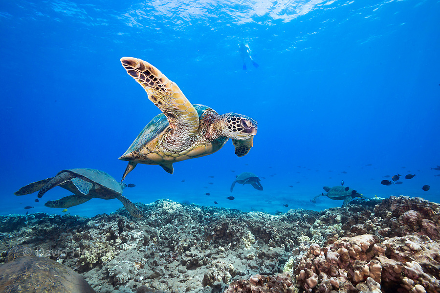 A snorkeler observes a group of green sea turtles, Chelonia mydas, from above, Hawaii.