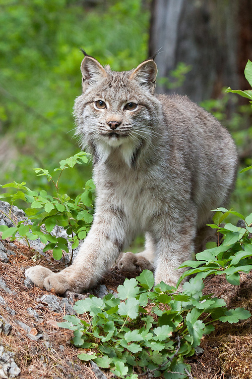 Canada Lynx standing amongst some foliage - CA