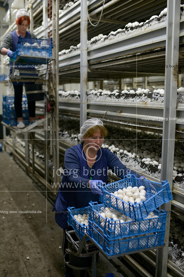 POLAND, Masovian Voivodeship, Huszlew, Grzybek Losicki, mushroom cultivation and marketing, mushroom breeding company, ukrainian women harvest the mushrooms / POLEN, Masowien, Huszlew, Grzybek Losicki, Champignon Pilz Erzeugergemeinschaft, Pilzzuchtbetrieb, ukrainische Frauen ernten Pilze fuer den Export
