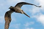 Pelican overhead, Bolsa Chica, CA.
