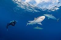 silky shark, Carcharhinus falciformis, and scuba diver, Gardens of the Queen, Jardines de la Reina, Jardines de la Reina National Park, Cuba, Caribbean Sea, Atlantic Ocean
