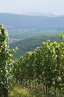 Europe/France/Alsace/68/Haut-Rhin/  env de Westhalten:  le vignoble de la route des vins