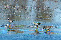 Greater Yellowlegs, Tringa melanoleuca, at Colusa National Wildlife Refuge, California