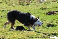Sheepdog working....Copyright..John Eveson, Dinkling Green Farm, Whitewell, Clitheroe, Lancashire. BB7 3BN.01995 61280. 07973 482705.j.r.eveson@btinternet.com.www.johneveson.com